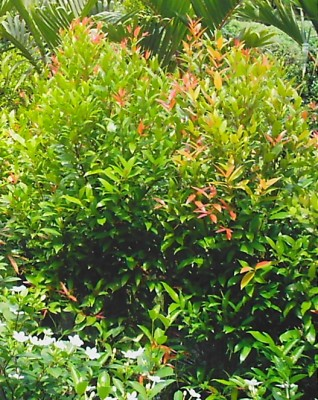 Earth garden landscaping philippines plants for Pianta eugenia