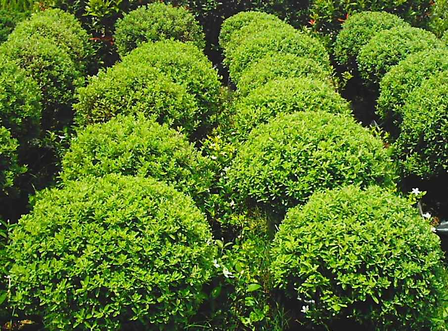 Earth garden landscaping philippines landscaping for Small garden trees for sale